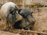 Domestic Pigs Lámina fotográfica por W.E. Garrett