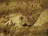 Carmine Bee-Eater Birds in Their Rookery Carved in a Cliff Photographic Print by Beverly Joubert