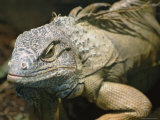 Close-up of an Iguana Photographic Print by Richard Nowitz