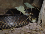 A Close View of an Eastern Brown Snake Photographic Print