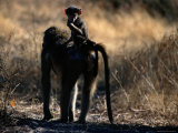 Baboon Carrying its Young Photographic Print by Chris Johns