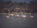 A Small Group of Flamingos Wading Near Shore Photographic Print by Kenneth Garrett