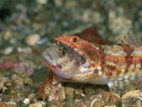 A Reef Lizardfish Swallows Another Fish Whole Photographic Print by Wolcott Henry