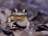 Head-On View of a Freckled Rain Forest Toad Photographic Print by Mattias Klum
