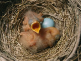 Robin Nest with Newborn Chicks and Egg Photographic Print by Richard Nowitz