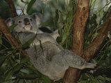 Nicole Duplaix - A Koala Clings to a Eucalyptus Tree in Eastern Australia - Fotografik Baskı