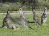 A Group of Eastern Gray Kangaroos Photographic Print by Jason Edwards