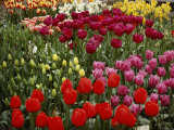 Brilliant Array of Various Tulips in a Garden Photographic Print by Todd Gipstein