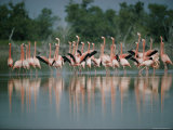 Flamingoes in the Water Photographic Print