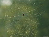 Spider in its Web, Which is Covered in Dew Photographic Print by Richard Nowitz