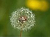 Close View of a Dandelion Gone to Seed Impresso fotogrfica por Nicole Duplaix