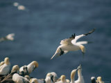 A Northern Gannet Seems to Hover in Mid-Air Above a Rookery Photographic Print