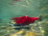 A Blurry View of a Red Salmon Photographic Print