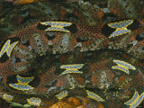 A Close View of a Rhinoceros Viper Photographic Print by Michael Nichols