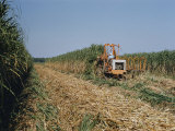 Harvesting Sugarcane Photographic Print by Willard Culver
