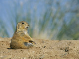 A Prairie Dog Sits Outside its Burrow Entrance Photographic Print by Annie Griffiths