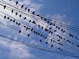 Flock of Birds Lined up on Overhead Wires Fotodruck von Pablo Corral Vega