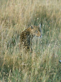 A Leopard Hides in the Tall Grass Photographic Print by Skip Brown