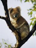 A Koala Bear Sits in a Tree Photographic Print by Nicole Duplaix