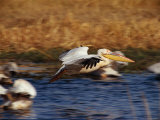 Pelicans Photographic Print by Beverly Joubert