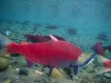 Red Salmon Swimming Fotografisk tryk