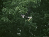 Bald Eagle in Flight Along the River Photographic Print by Robert Madden