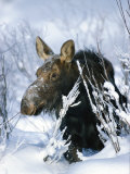 Portrait of a Moose in the Snow Photographic Print by Michael S. Quinton