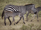 An Adult and Two Juvenile Plains Zebras Walk Along a Worn Path Photographic Print by Skip Brown