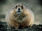 Close View of a Fat Prairie Dog Fotografisk tryk af Joel Sartore