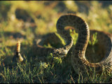A Coiled Rattlesnake is Ready to Strike Photographic Print by Phil Schermeister