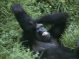 A Western Lowland Gorilla Plays in the Grass Photographic Print by Jason Edwards