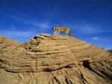 A Mountain Lion Walks Across a Desert Landscape Photographic Print