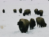 Group of Bison in the Snow Photographic Print