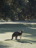 An Eastern Grey Kangaroo Temporarily Disrupts a Golf Game Photographic Print by Nicole Duplaix