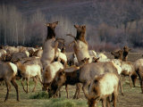 Elk Cows Spar in the Midst of a Wintering Herd Photographic Print by Sam Abell