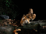 Indian Tiger (Panthera Tigris Tigris) Photographic Print by Michael Nichols