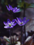 Round-Lobed Hepatica Blossoms Photographic Print by Mattias Klum