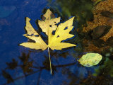 A Big Leaf Maple Leaf Floats Down the Merced River Photographic Print by Marc Moritsch
