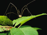 A Daddy-Long-Legs Spider Walks Across a Leaf Photographic Print by Brian Gordon Green