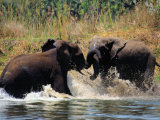 Sparring Elephants Photographic Print by Anne Keiser