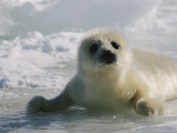 A Juvenile Harp Seal Lying on the Ice Photographic Print by Tom Murphy