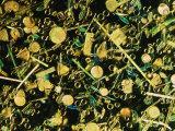 Microscopic View of Diatoms Lámina fotográfica por Murawski, Darlyne A.