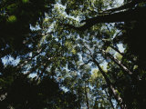 View Looking up into the Forest Canopy Fotografisk tryk af Nicole Duplaix