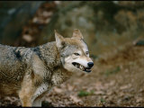 Wolf at the National Zoo Photographic Print by Vlad Kharitonov