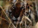 Bengal Tiger (Panthera Tigris Tigris) Photographic Print by Michael Nichols