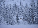 Barren-Ground Caribou Among Spruce Trees Photographic Print
