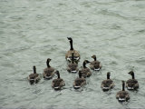 A Canada Goose Leads a Gaggle of Adolescent Geese Through the Water Photographic Print by Robert Madden