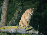 A Captive Male Mountain Lion Sits Atop the Trunk of a Fallen Tree Photographic Print