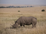 A White Rhinoceros Grazes on a Kenyan Savanna Photographic Print by Jodi Cobb