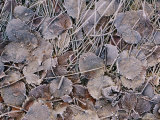 Frost-Covered Leaves Photographic Print by Mattias Klum